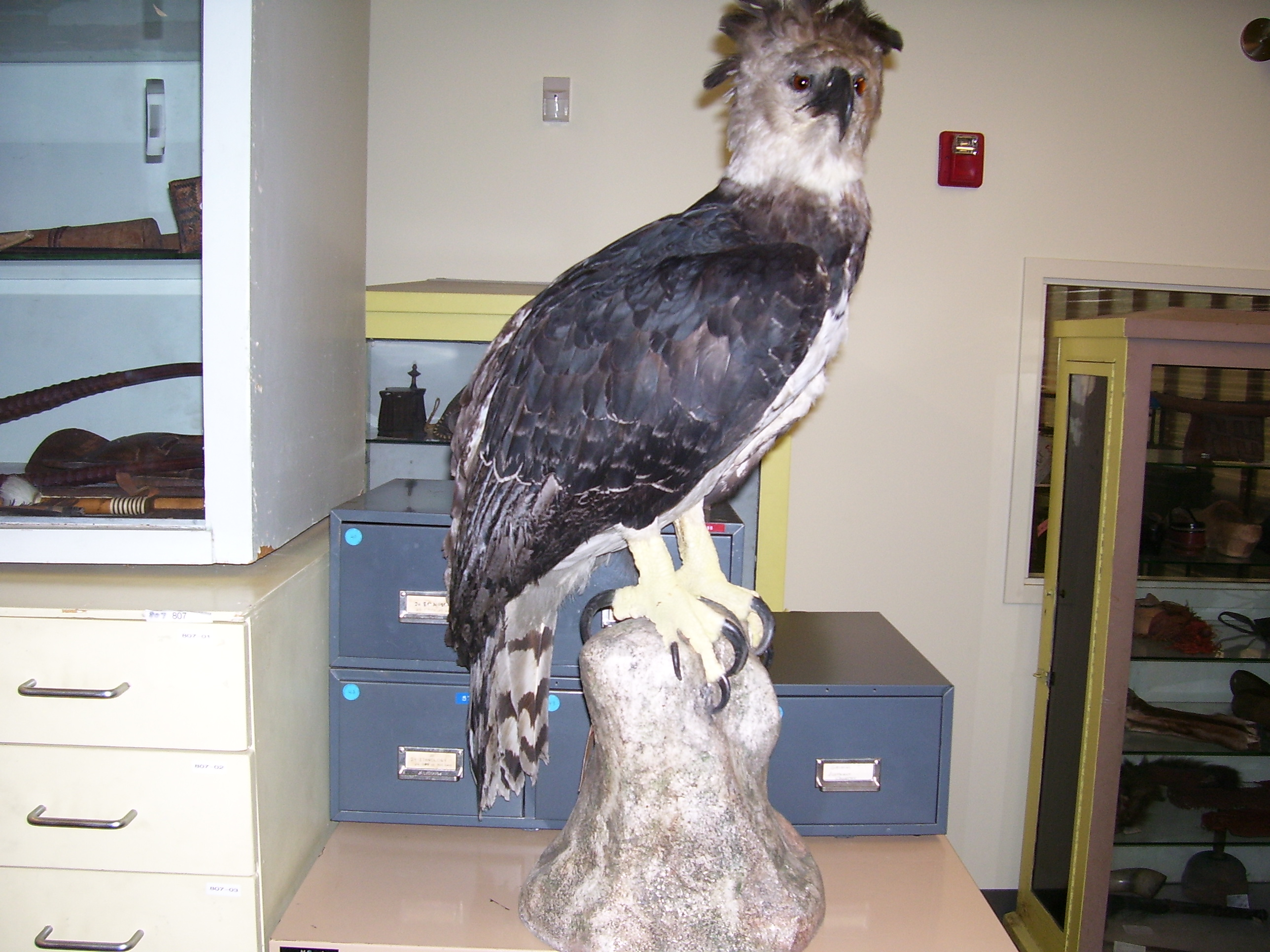 harpy eagle welcome to the taxidermy net forum and community