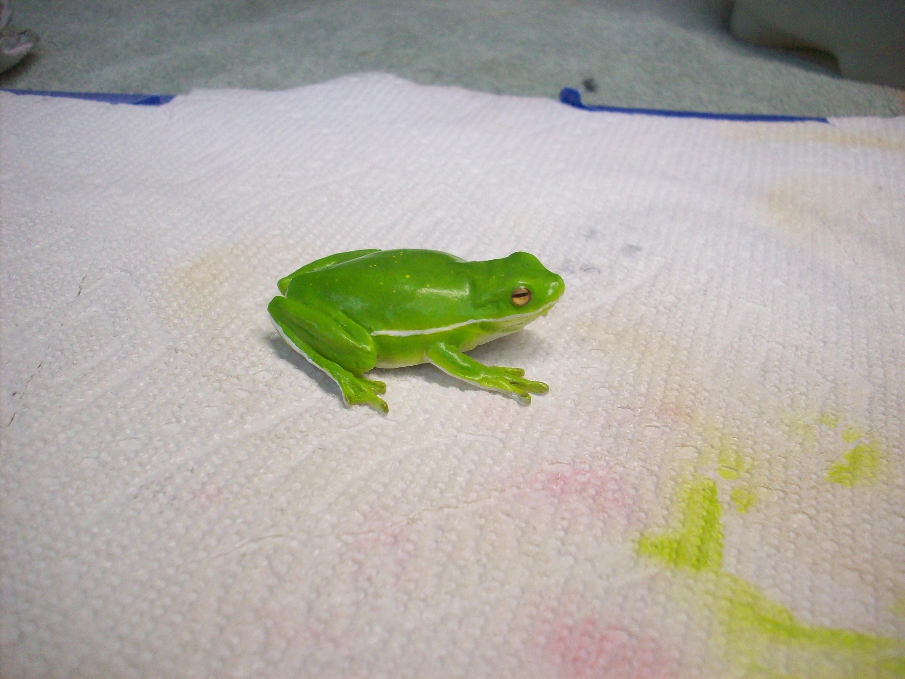 Green Tree Frog 3.JPG