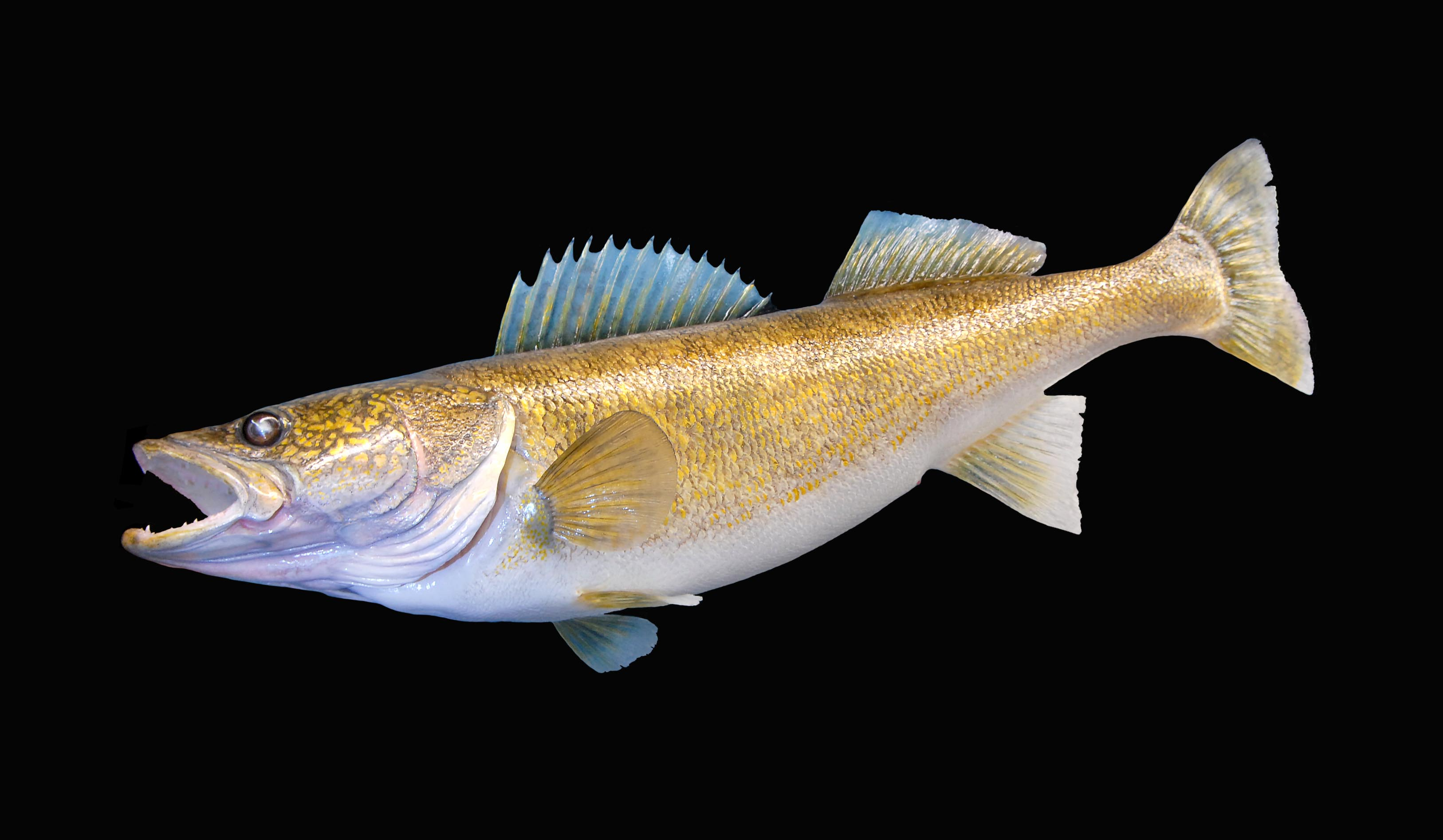 Joel Lake Walleye.jpg