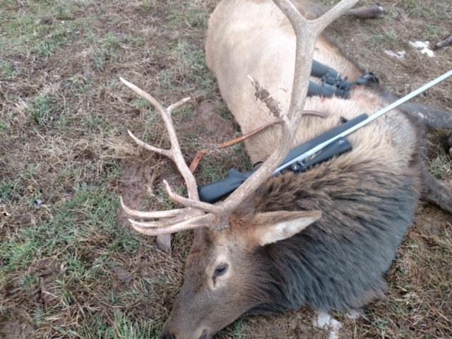 elk remount cape needed heavy mane.jpg
