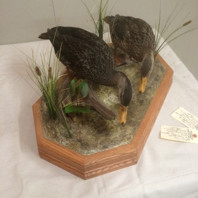 Mottled ducks.png