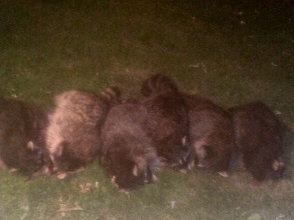 10-20-18 6 raccoons (2).JPG