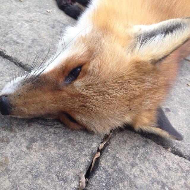 fox 1.JPG