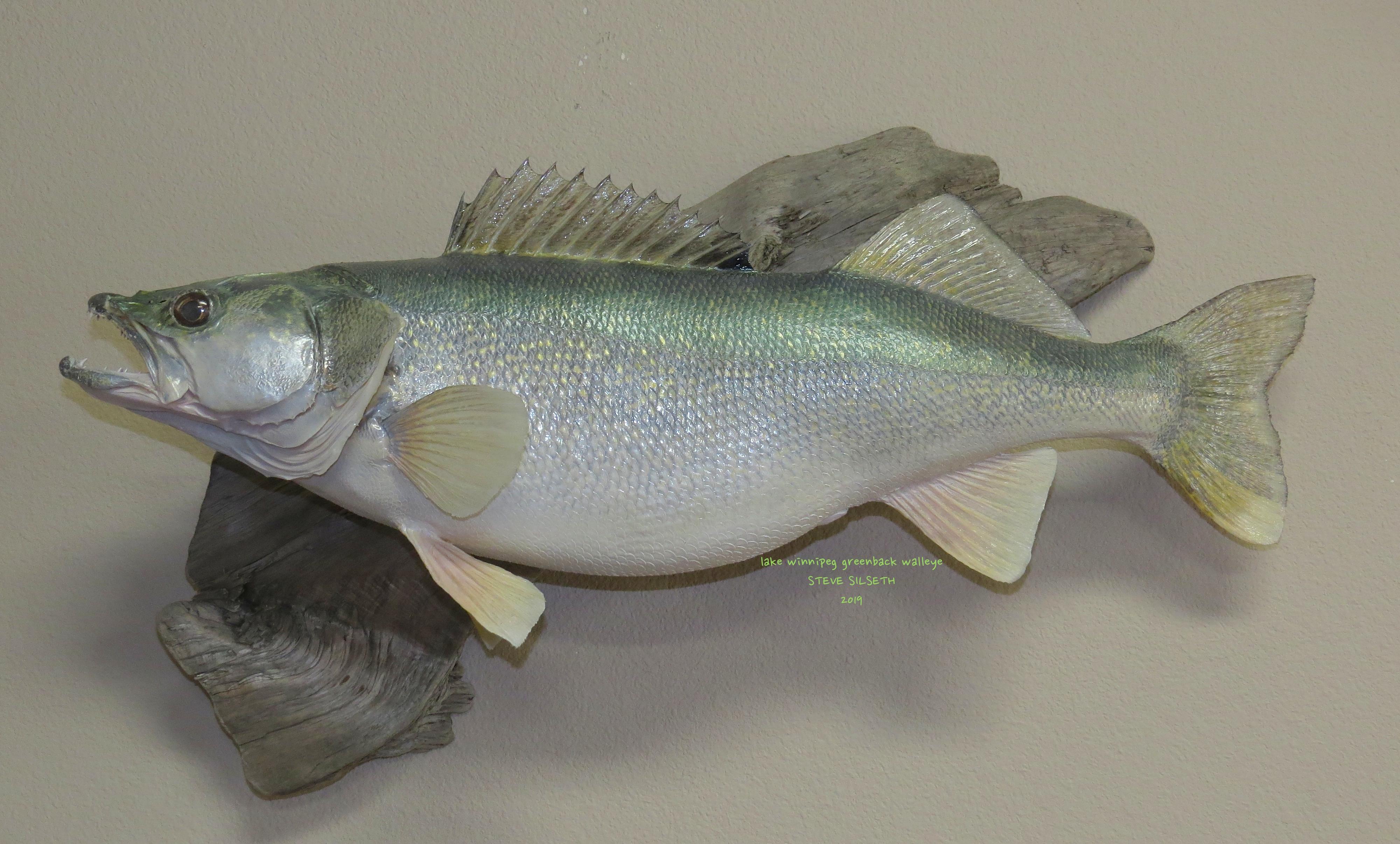 lake winnipeg greenback walleye.JPG