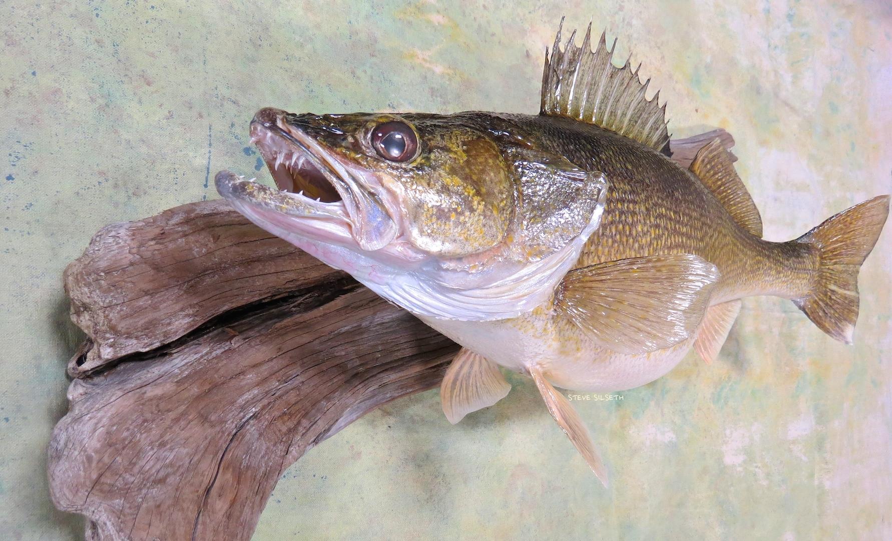 walleye taxidermy mount.jpg