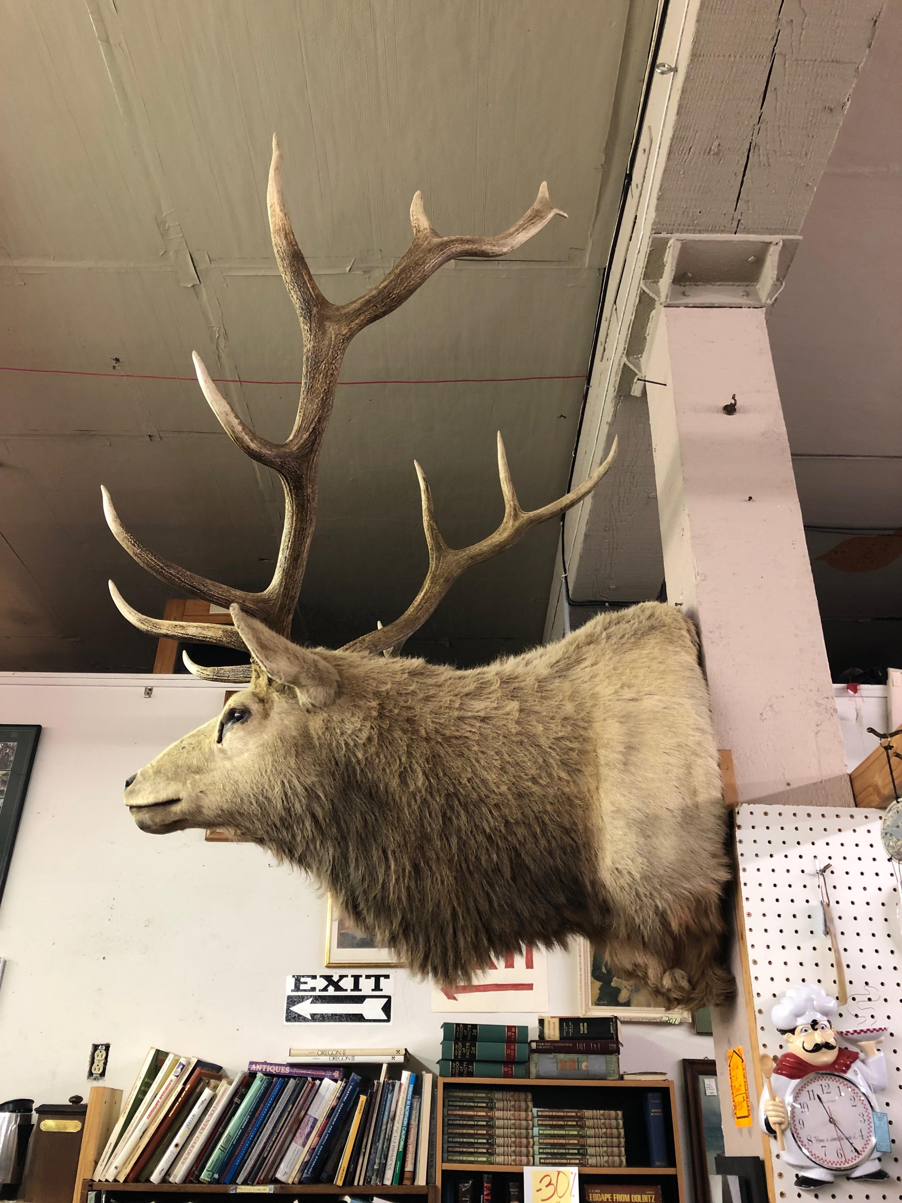 leucistic bull elk..jpg