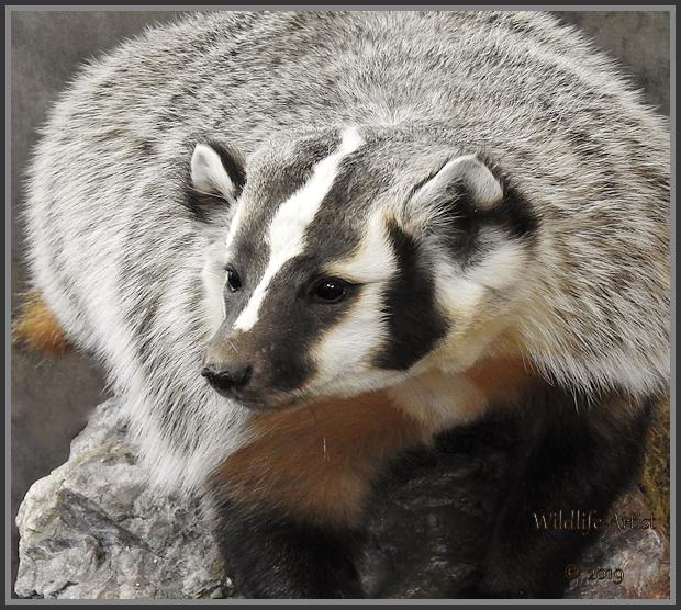 badger273.jpg