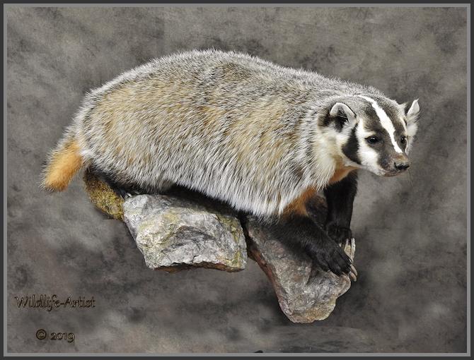 badger274.jpg