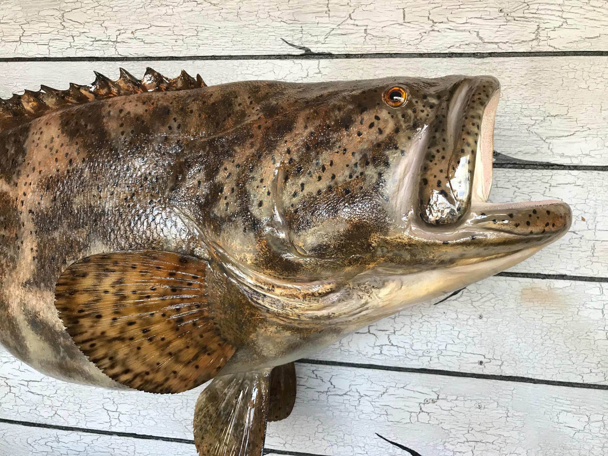 jewfish 2.jpg