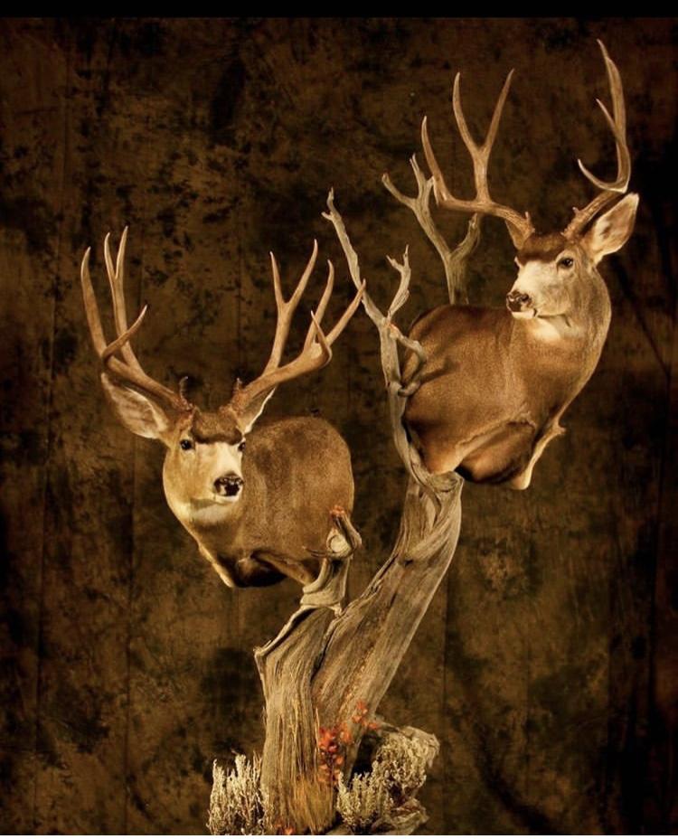 Mule Deer Pedestal Mount.jpg