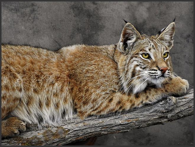bobcat2901.jpg