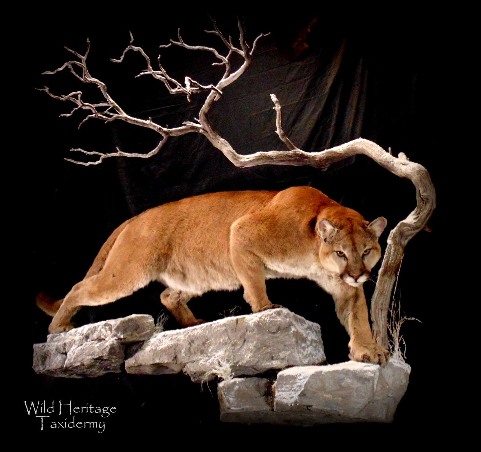Looking For The Best Mountain Lion Taxidermist | Welcome to