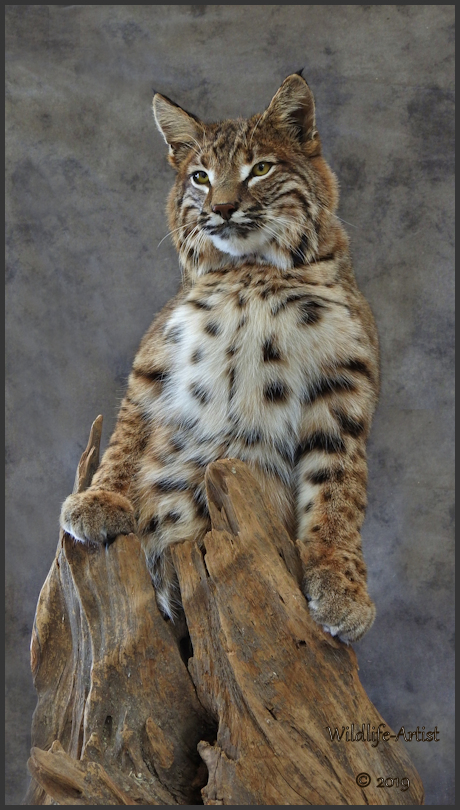 bobcat2918.jpg