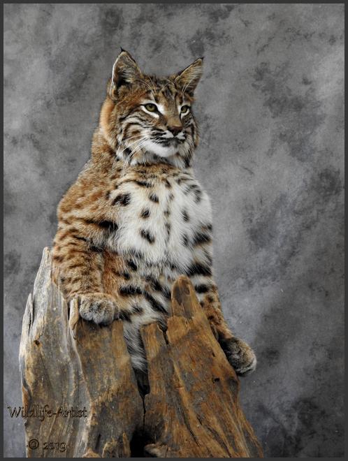 bobcat2917.jpg