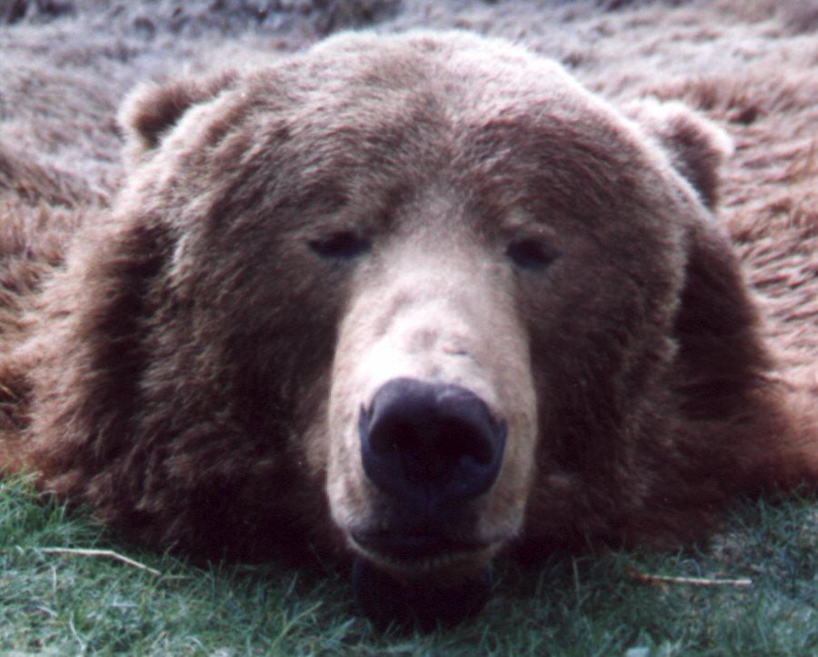 bear_head_1.jpg