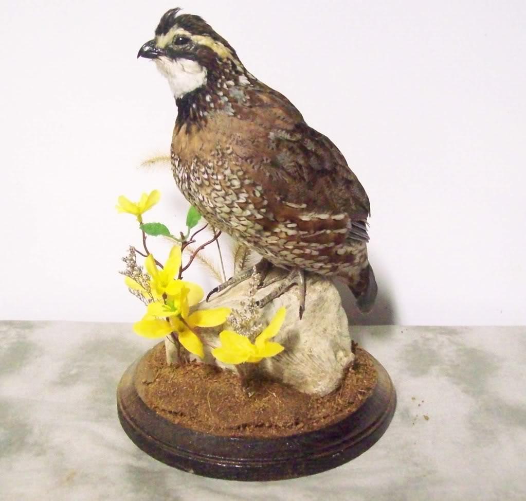 quail111 (6).jpg