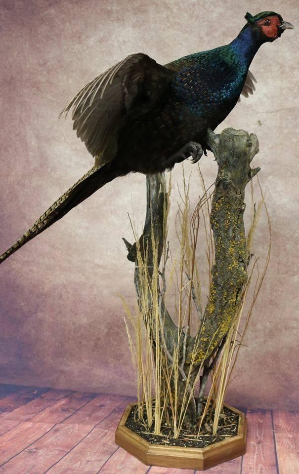 Majestic Black Pheasant.jpg
