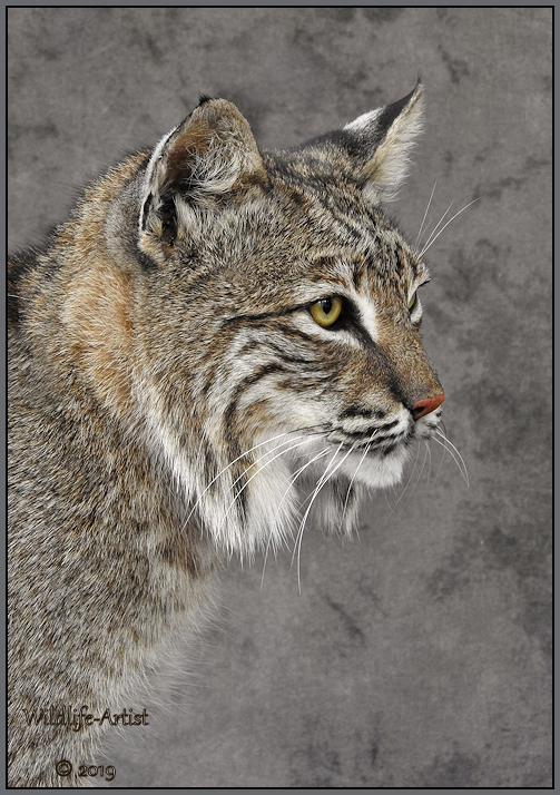 bobcat2965.jpg
