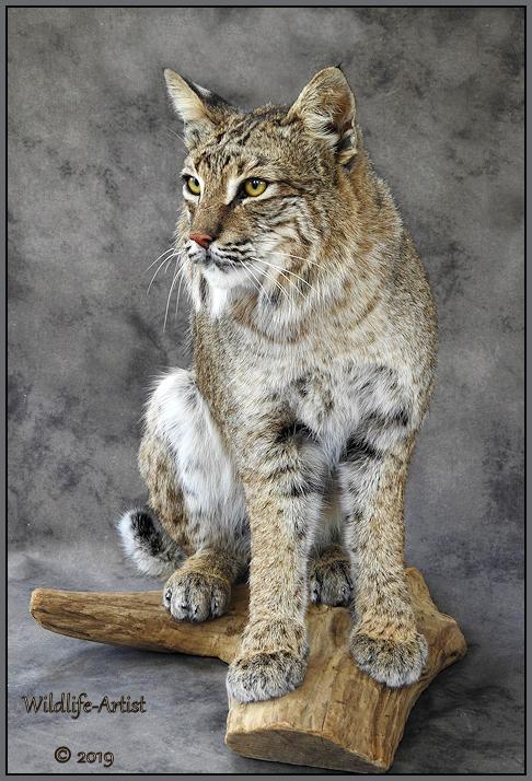 bobcat2961.jpg