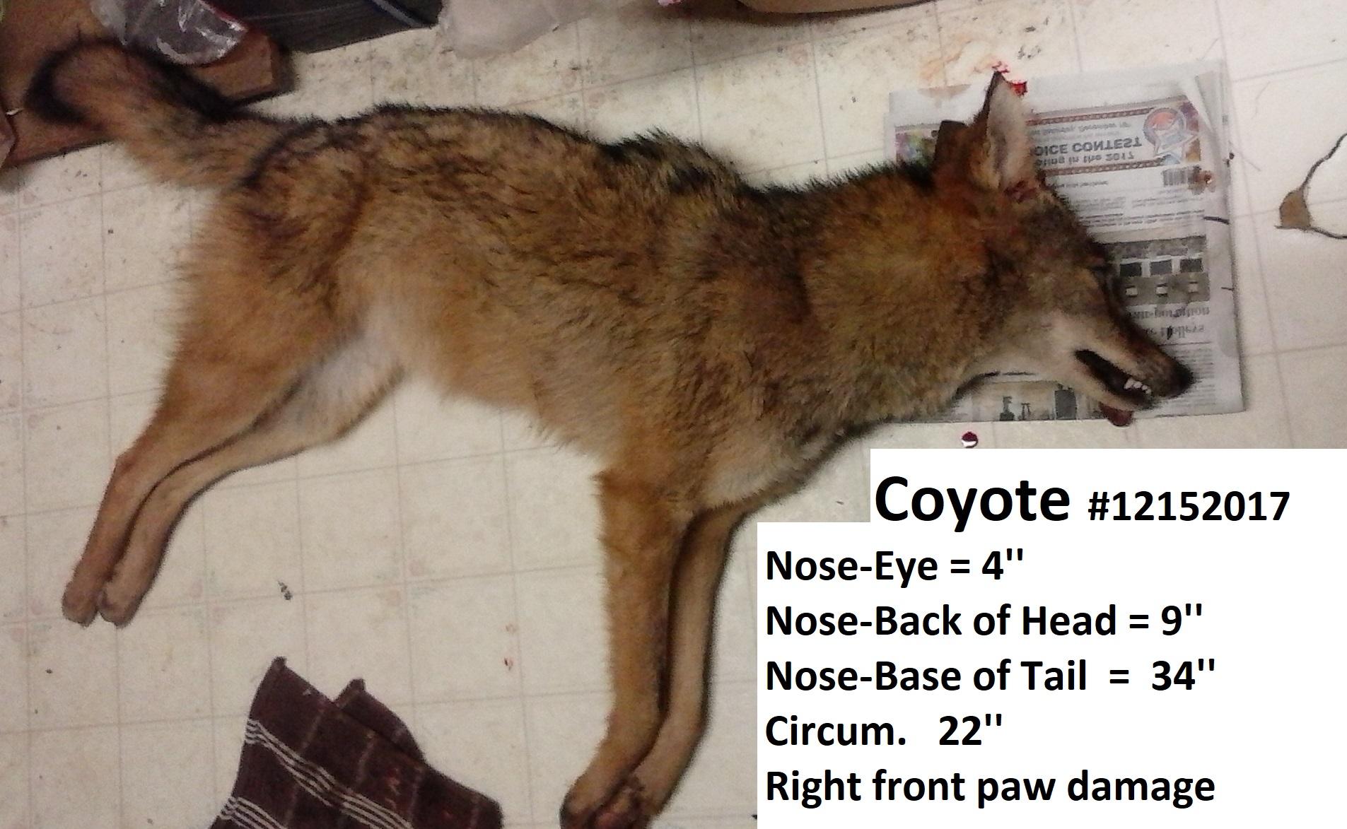 Coyote #12152017.d.jpg