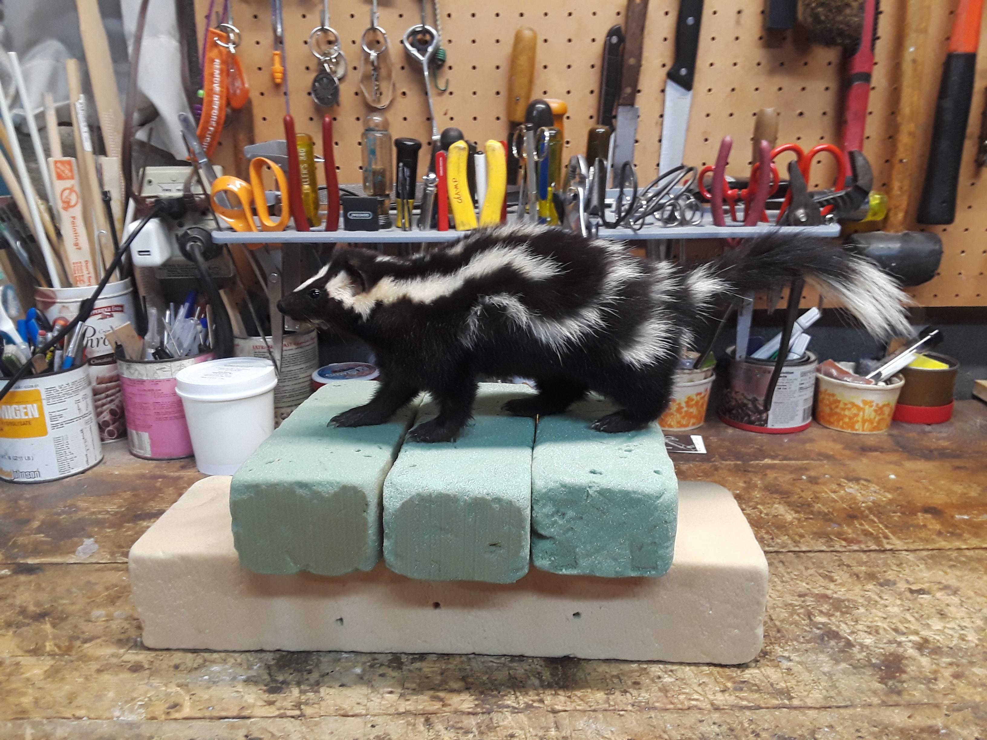 spotted skunk 2.jpg