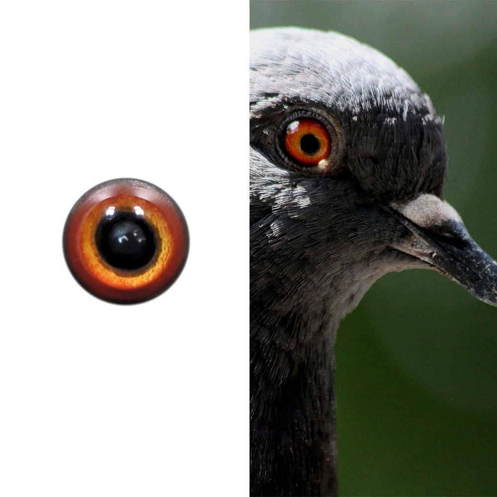 Rock_pigeon_SM.jpg