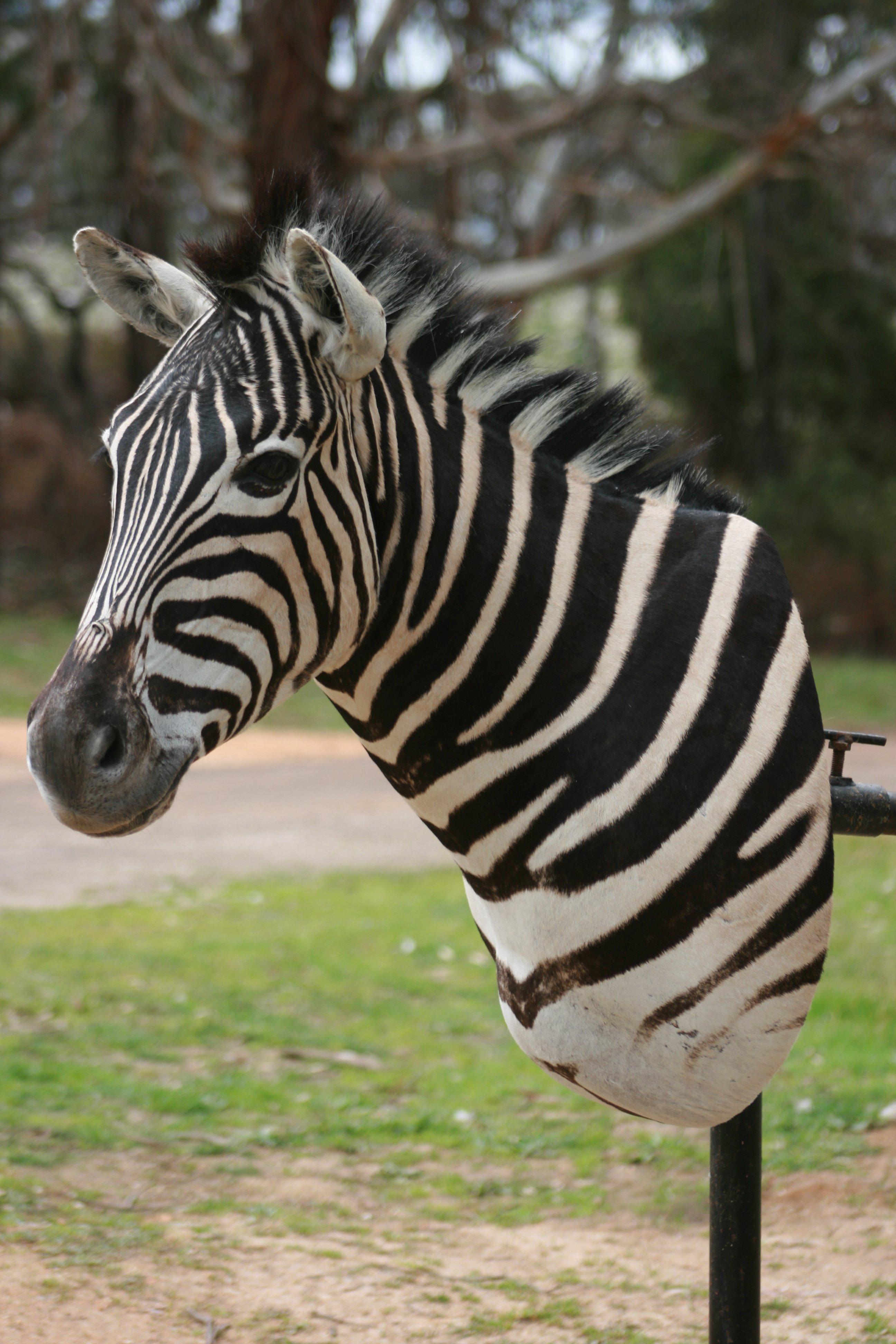 Zebra shouldermount profile2.JPG
