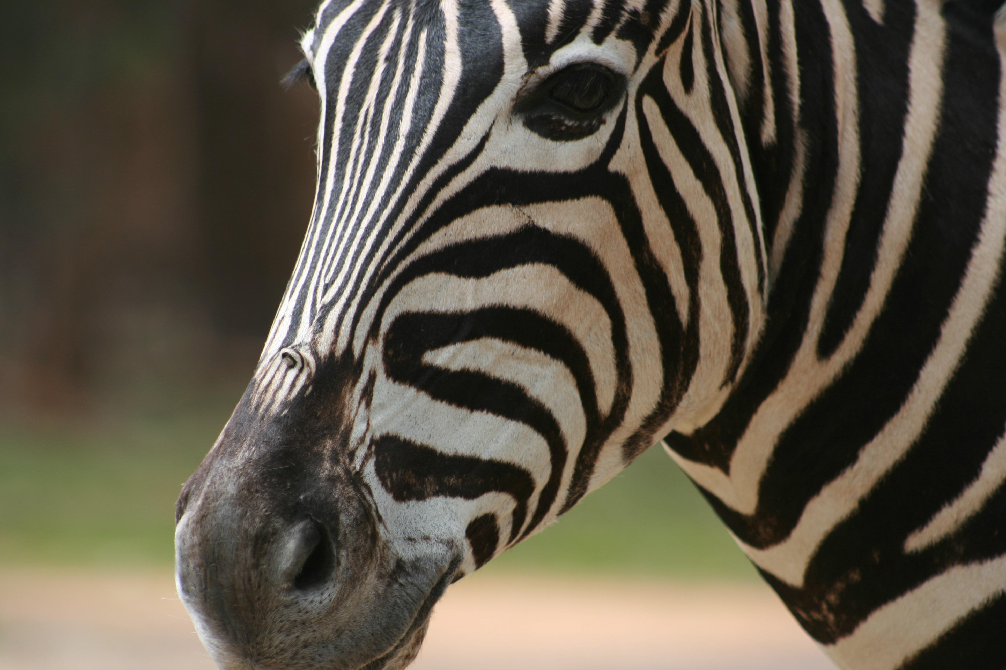 Zebra shoulder mount face.jpg