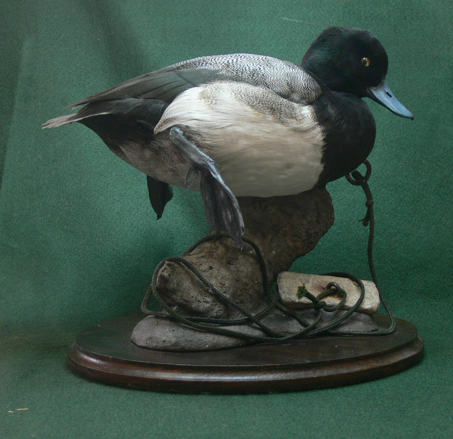 Lessar Scaup.png