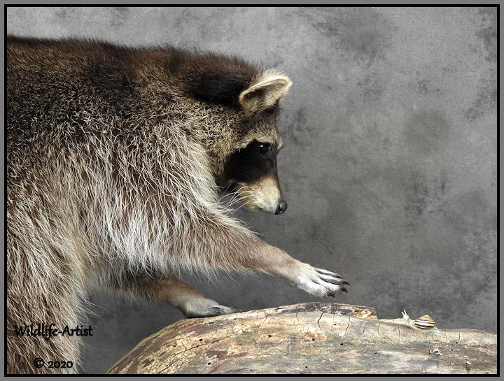 raccoon338.jpg