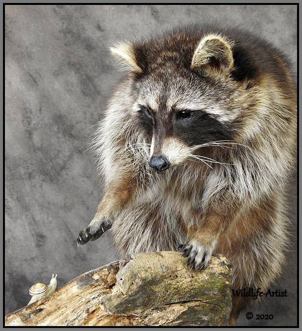 raccoon336.jpg