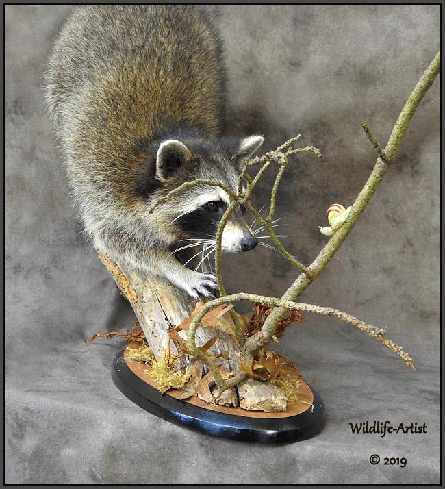 raccoon327.jpg