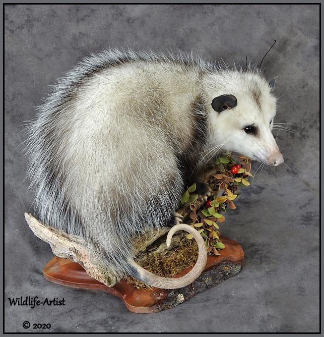opossum22.jpg