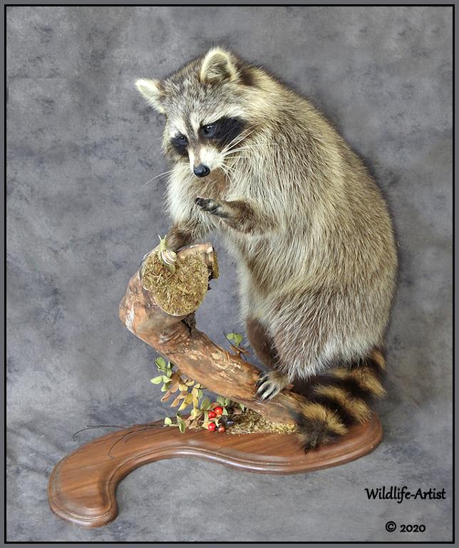 raccoon342.jpg