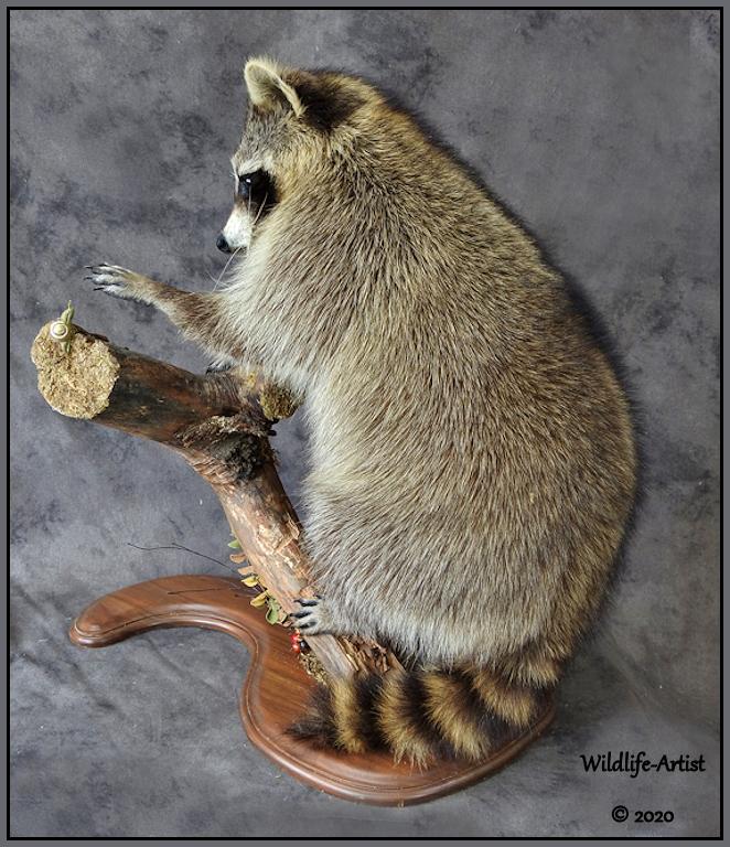 raccoon341.jpg