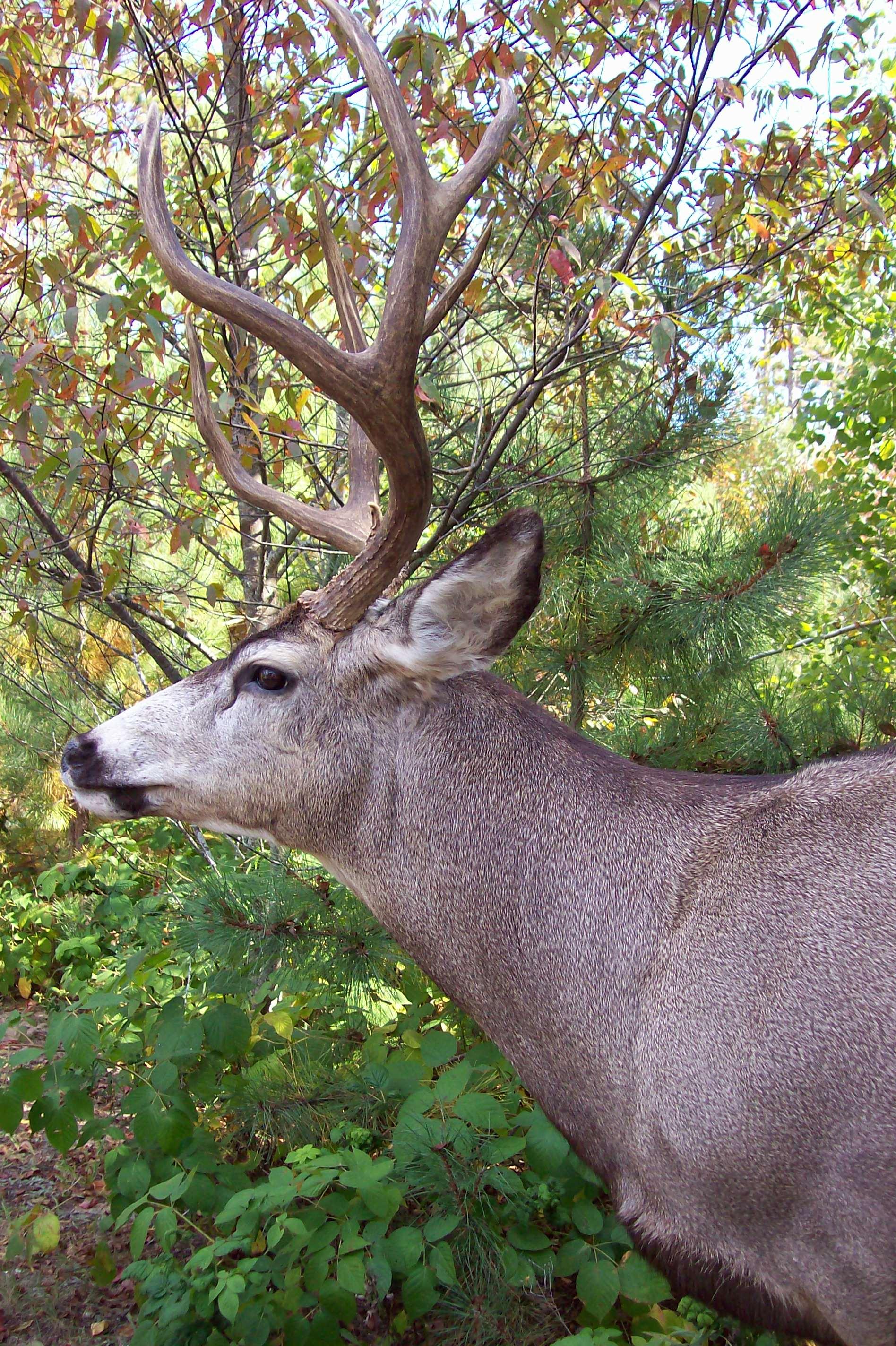 ule deer 2 026.JPG