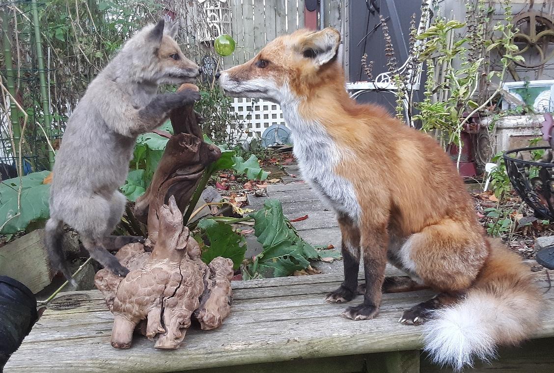 foxpupwrappedc.jpg