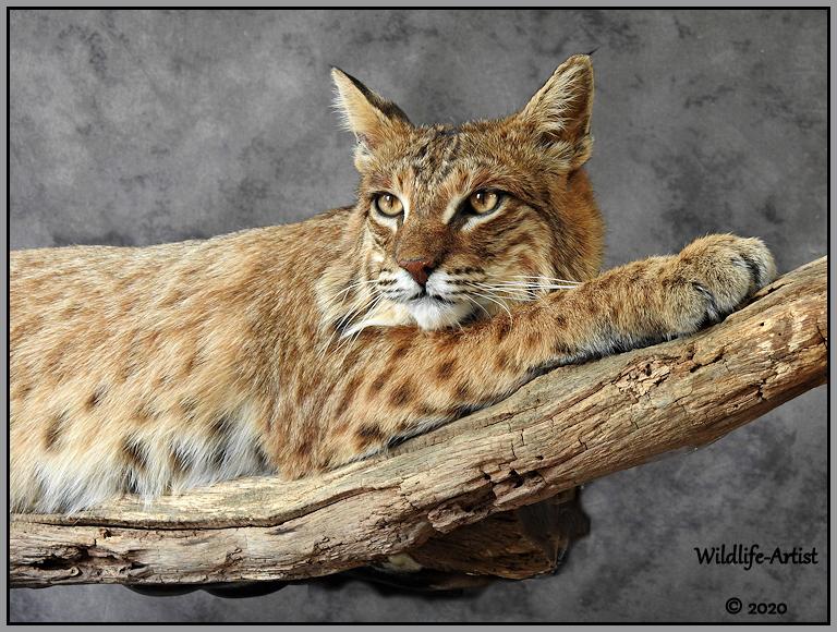 bobcat3062.jpg
