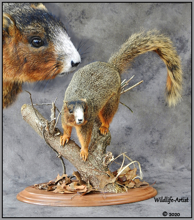 southernfoxsquirrel28.jpg