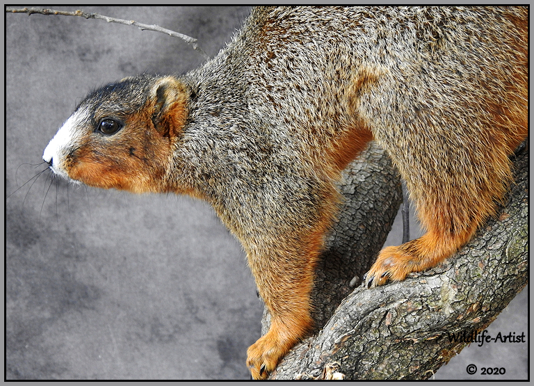 southernfoxsquirrel26.jpg