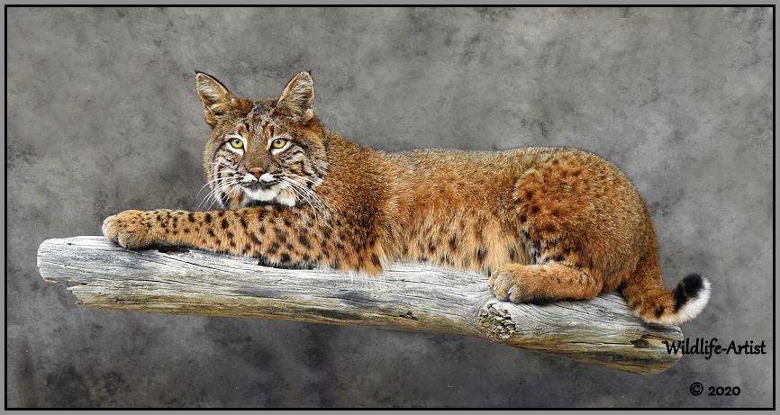 bobcat3071.jpg