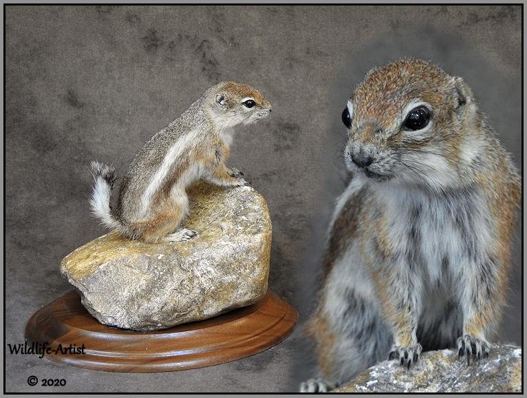 antelopegroundsquirrel11.jpg