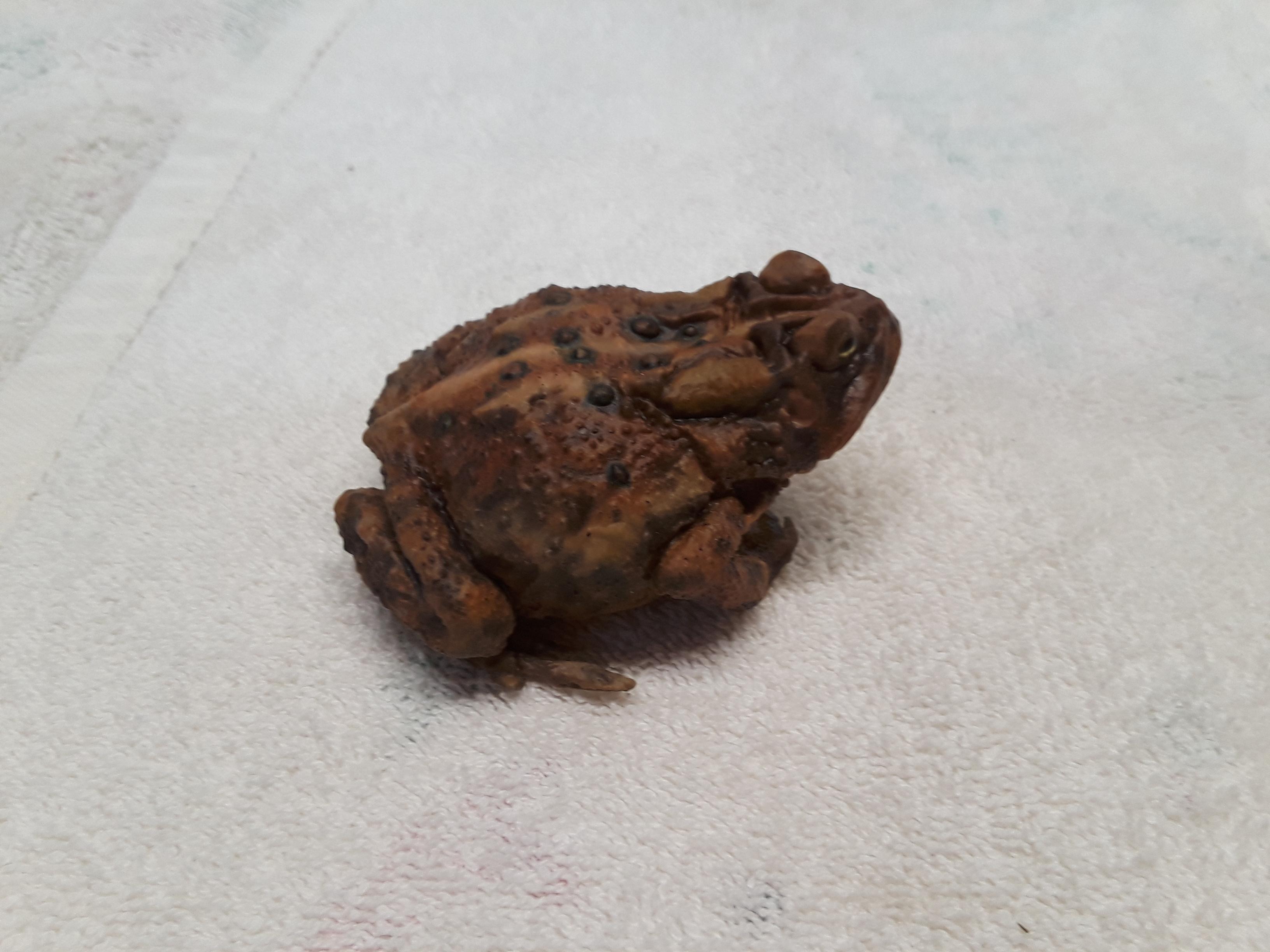 american toad.jpg