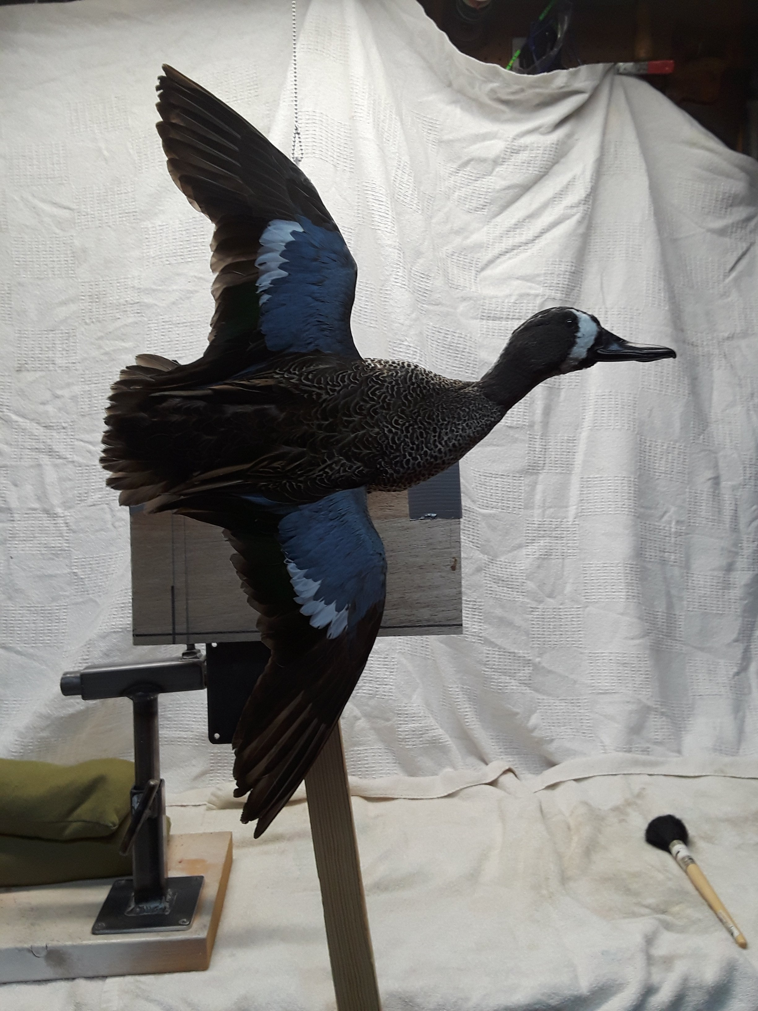 blue winge teal drake flying 2.jpg