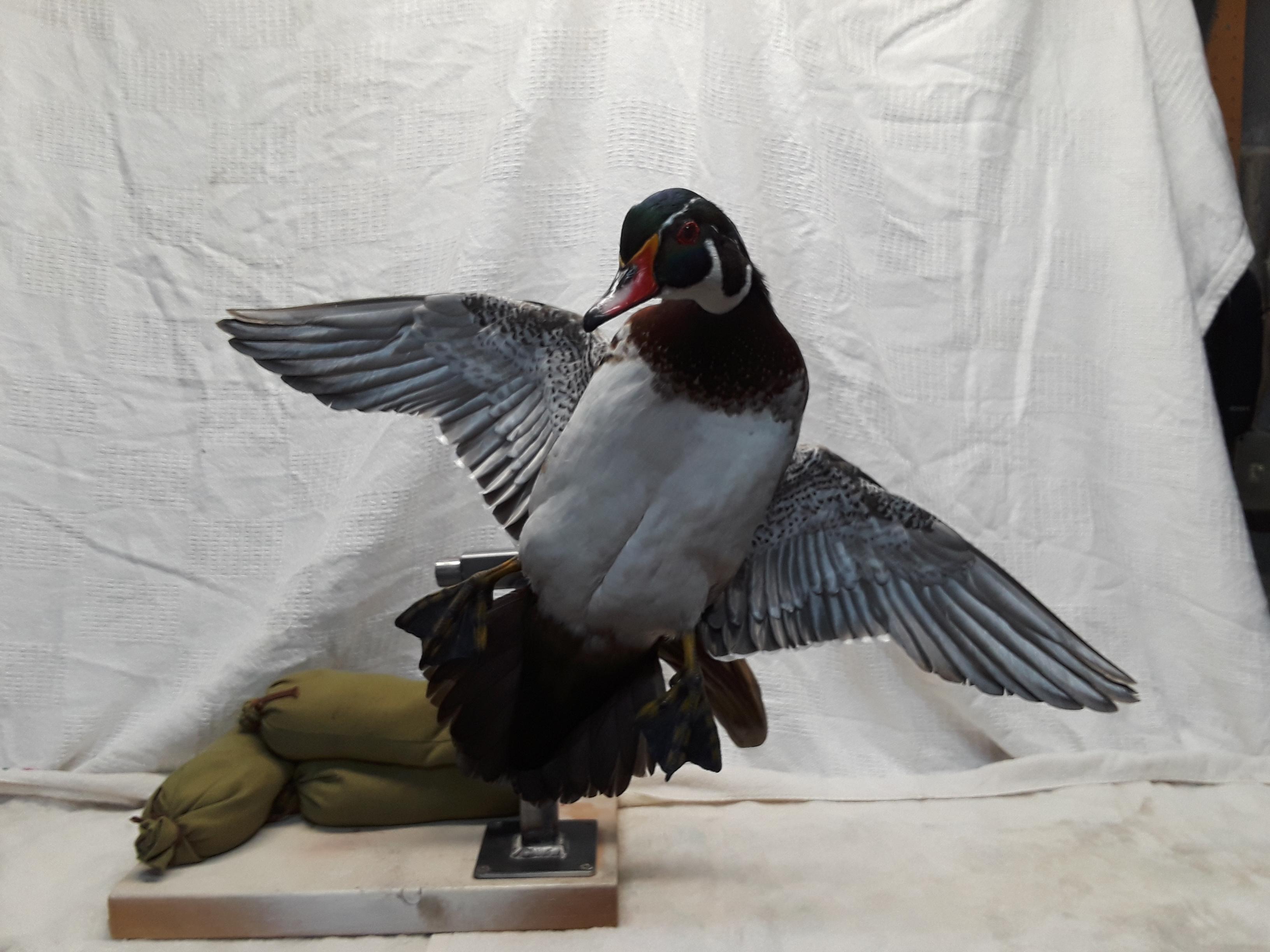 wood duck drake 2.jpg