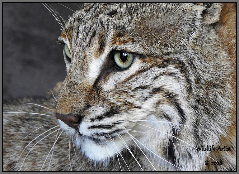 bobcat3093.jpg