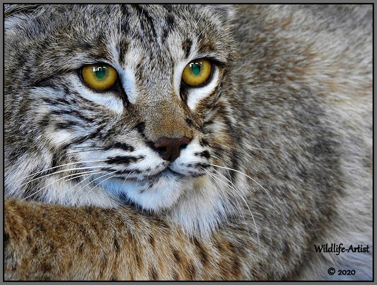 bobcat3107.jpg
