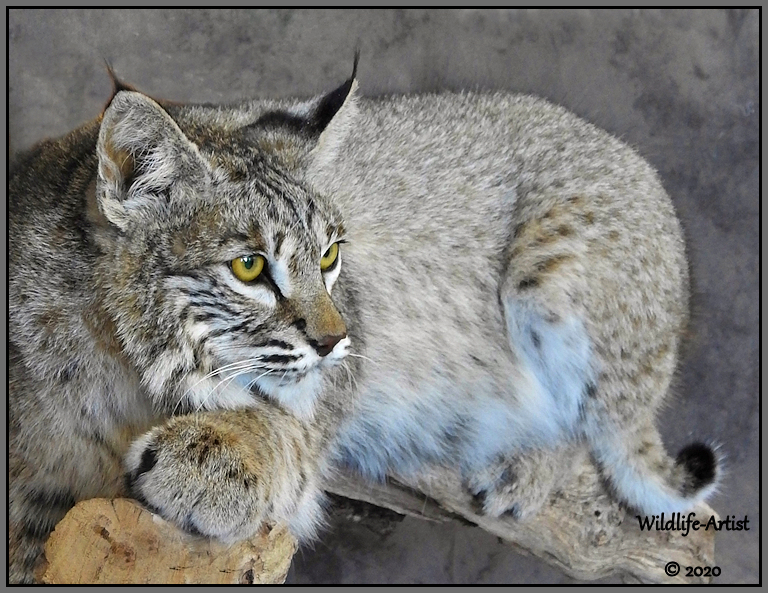 bobcat3105.jpg