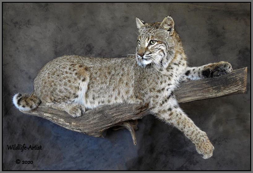 bobcat3092.jpg