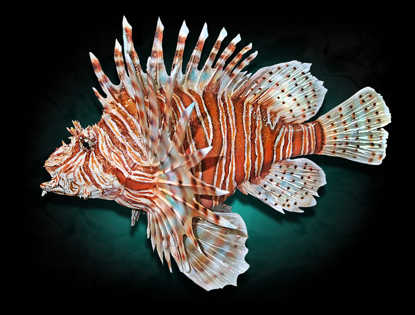 Lionfish_Taxidermyrerer.jpg